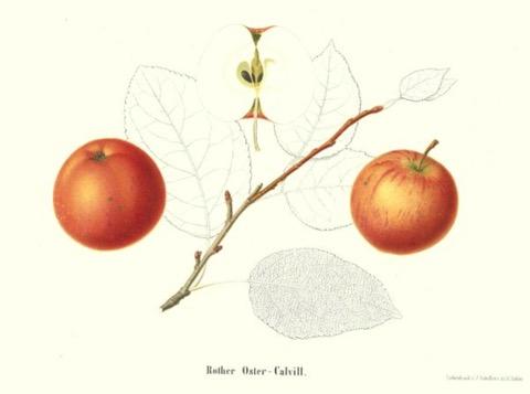 Historische Abbildung zweier rötlicher Äpfel, eines aufgeschnittenen Apfels, eines Zweiges und Blättern; BUND Lemgo