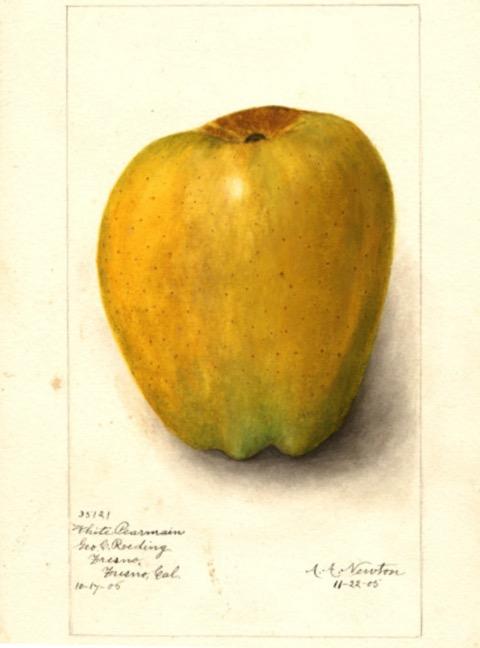 Historische Abbildung eines gelblichen Apfels; USDA
