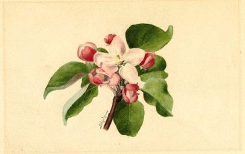 Historische Abbildung einer Apfelblüte; USDA