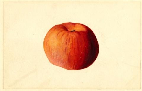 Historische Abbildung eines rötlichen Apfels; USDA