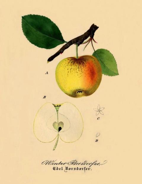 Historische Abbildung eines gelblich-rötlichen Apfels am Zweig mit Blättern und eines aufgeschnittenen Apfels; BUND Lemgo