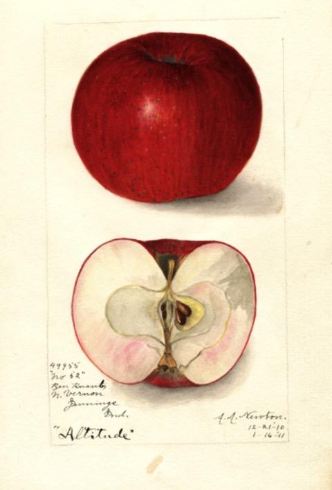 Historische Abbildung eines rotenen und eines aufgeschnittenen Apfels; USDA