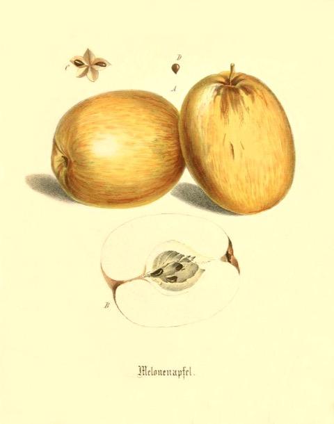 Historische Abbildung zweier gelblicher und eines aufgeschnittenen Apfels; BUND Lemgo
