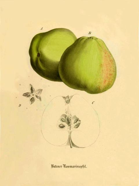 Historische Abbildung von zwei grün-gelblichen und einem aufgeschnittenen Apfels; BUND Lemgo