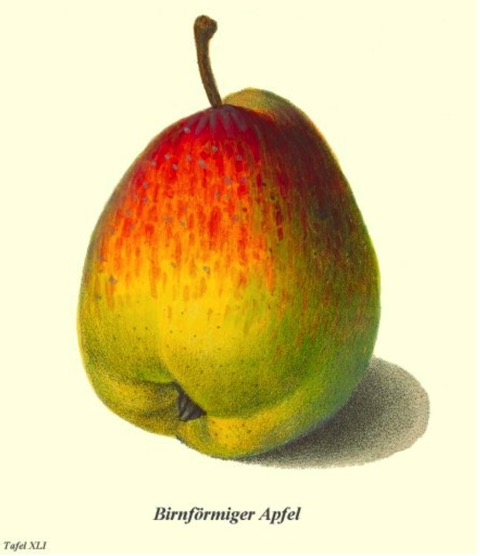 Historische Abbildung eines grünlich-rötlichen, birnenförmigen Apfels; BUND Lemgo