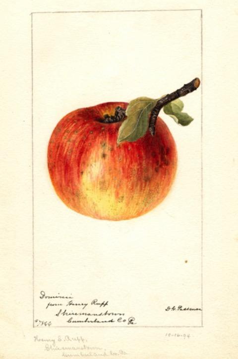 Historische Abbildung eines gelblich-rötlichen Apfels mit Zweig und Blatt; USDA