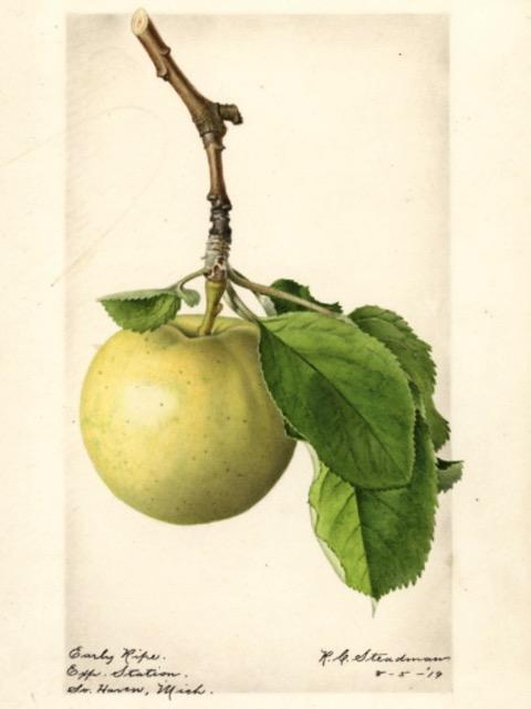 Historische Abbildung eines gelblich-grünlichen Apfels; USDA