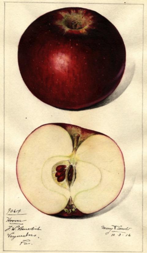 Historische Abbildung eines roten und eines aufgeschnittenen Apfels; USDA