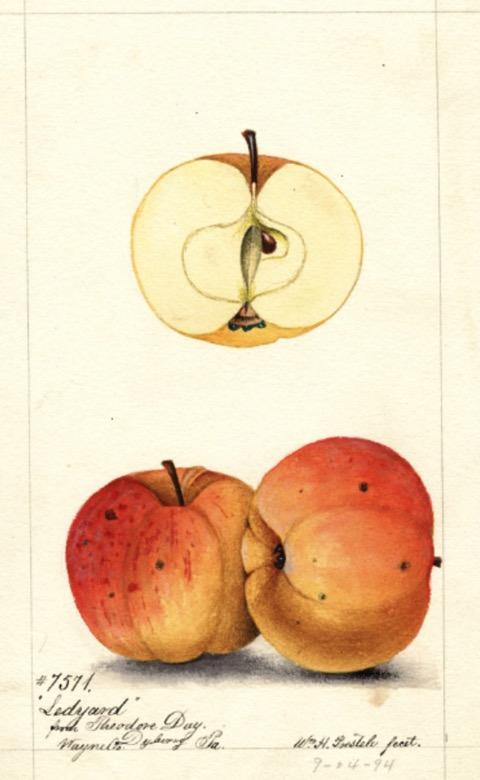Historische Abbildung zweier rot-oranger Äpfel und eines aufgeschnittenen Apfels; USDA