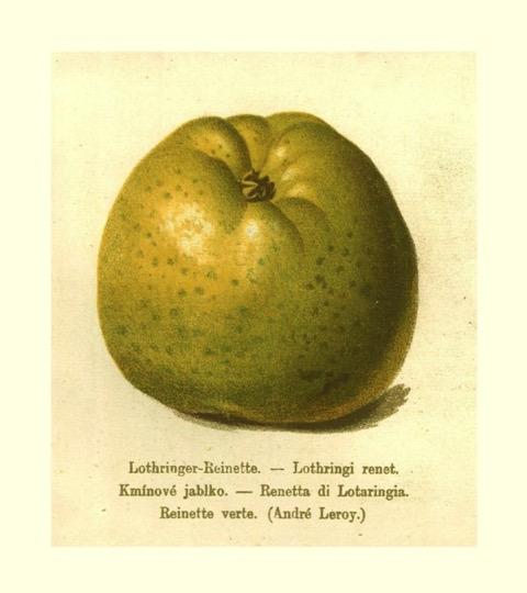 Historische Abbildung eines gelblich-grünen und eines aufgeschnittenen Apfels; BUND Lemgo