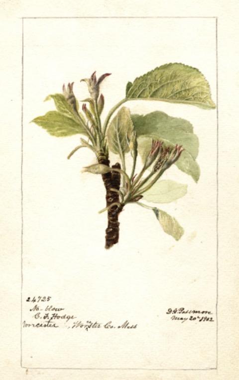 Historische Abbildung eines Apfelbaum-Zweigs mit Blättern und Blüten; USDA