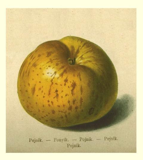 Historische Abbildung eines gelblichen Apfels; BUND Lemgo