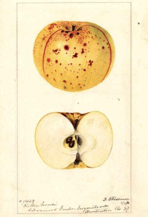 Historische Abbildung eines gelblichen, gesprenkelten und eines aufgeschnittenen Apfels; USDA