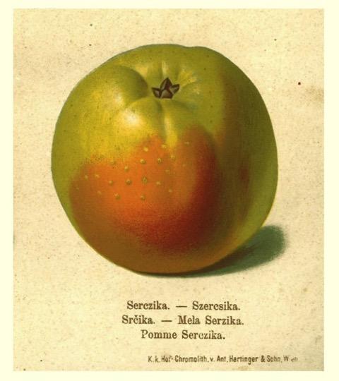 Historische Abbildung eines grün-rötlichen Apfels; BUND Lemgo