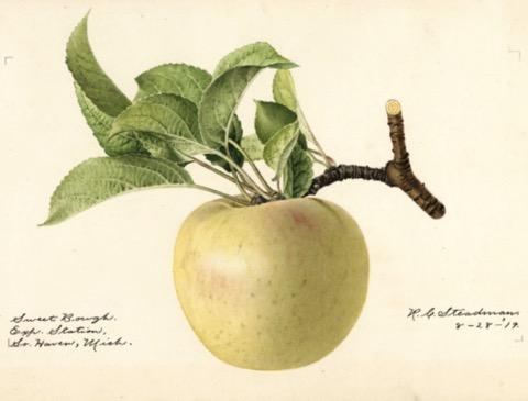 Historische Abbildung eines gelblichen Apfels mit Zweig und Blättern; USDA