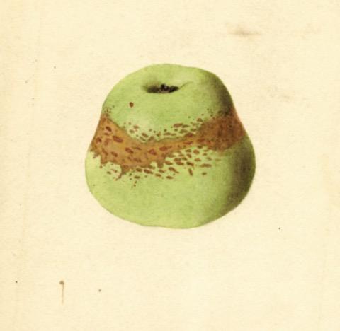 Historische Abbildung eines grünlichen  Apfels; USDA