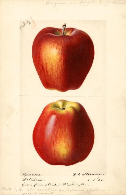 Historische Abbildung zweier roter Äpfel; USDA