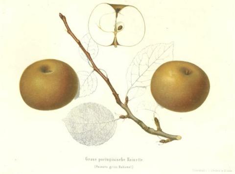 Historische Abbildung zweier rostfarbiger Äpfel, einem Zweig, Blättern und eines aufgeschnittenen Apfels; BUND Lemgo Obstsortendatenbank