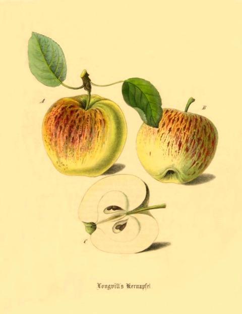 Historische Abbildung zweier gelblich-rötlicher und eines aufgeschnittenen Apfels; BUND Lemgo