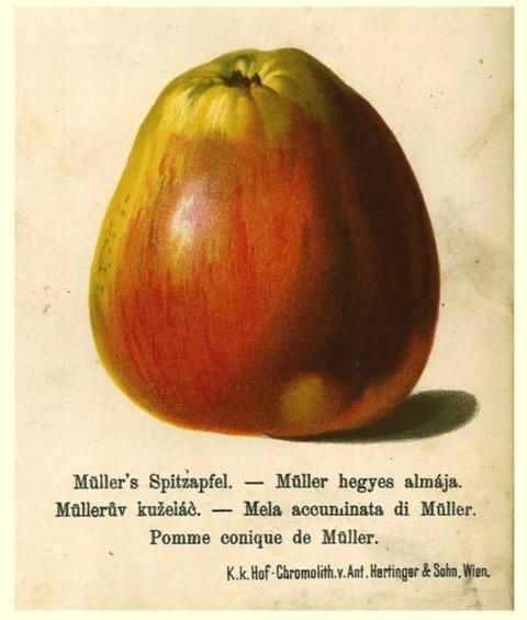 Historische Abbildung eines gelblich-rötlichen und eines aufgeschnittenen Apfels; BUND Lemgo