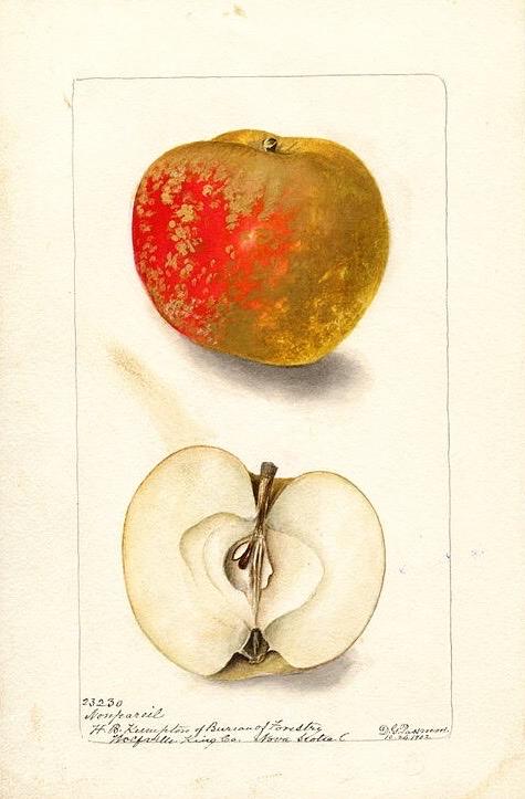 Historische Abbildung eines bräunlich-rötlichen und eines aufgeschnittenen Apfels; USDA