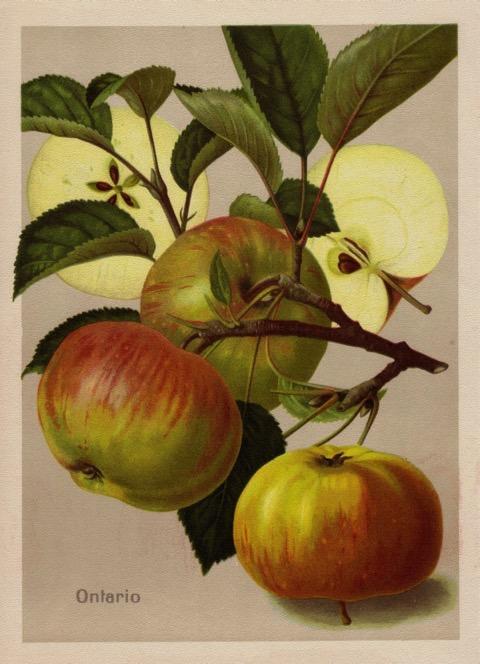 Historische Abbildung grün-rötlicher Äpfel am Ast und zweier aufgeschnittener Äpfel; BUND Lemgo
