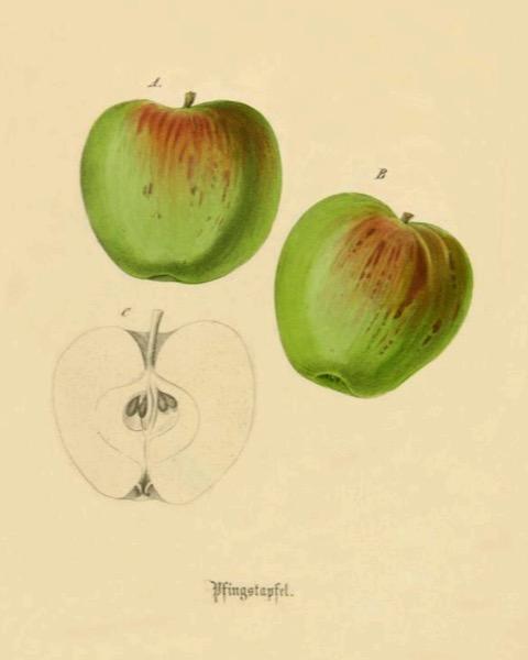 Historische Abbildung von zwei grün-rötlichen und eines aufgeschnittenen Apfels; BUND Lemgo