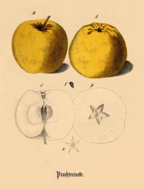 Historische Abbildung zweier gelber und eines aufgeschnittenen Apfels; BUND Lemgo Obstsortendatenbank
