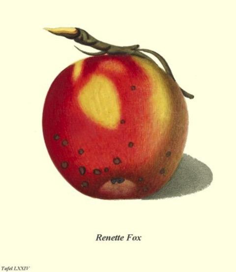 Historische Abbildung eines gelblich-roten Apfels;  BUND Lemgo