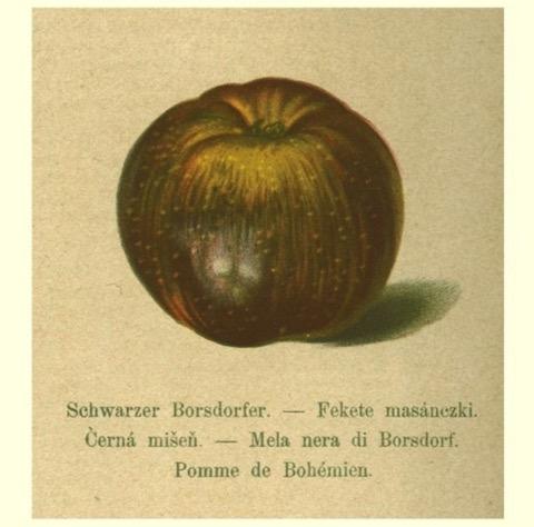 Historische Abbildung eines sehr dunklen Apfels; BUND Lemgo