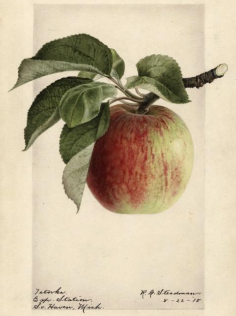 Historische Abbildung eines grünlich-rötlichen Apfels mit Zweig und Blättern; USDA