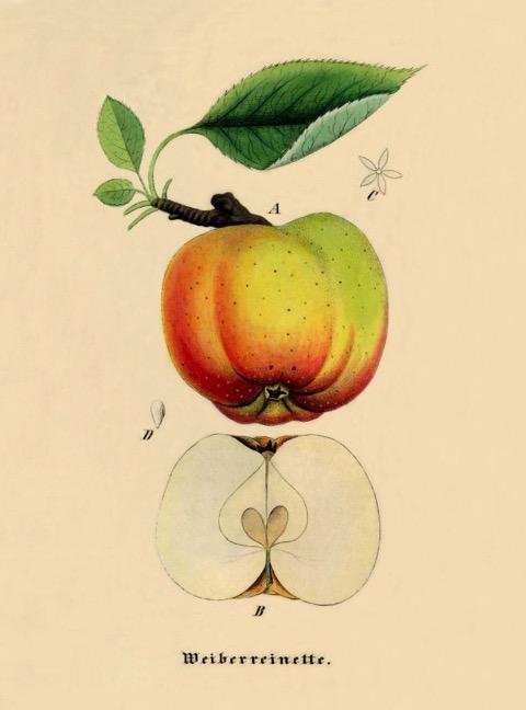 Historische Abbildung eines gelb-grünlich-rötlichen Apfels am Zweig mit Blatt, und eines aufgeschnittenen Apfels; BUND Lemgo