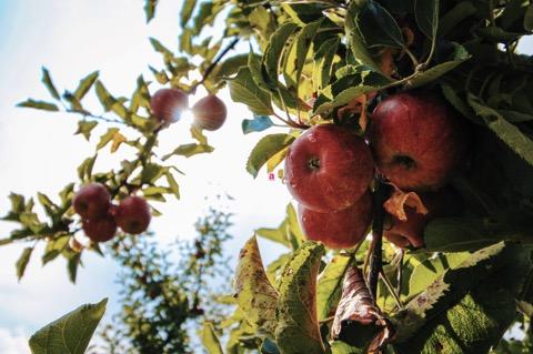 rote Äpfel hängen an Zweigen