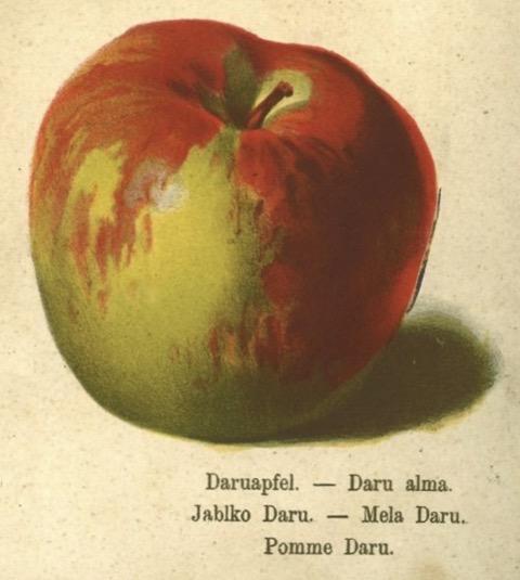 Historische Abbildung eines röt-grünlichen Apfels; BUND Lemgo Obstsortendatenbank