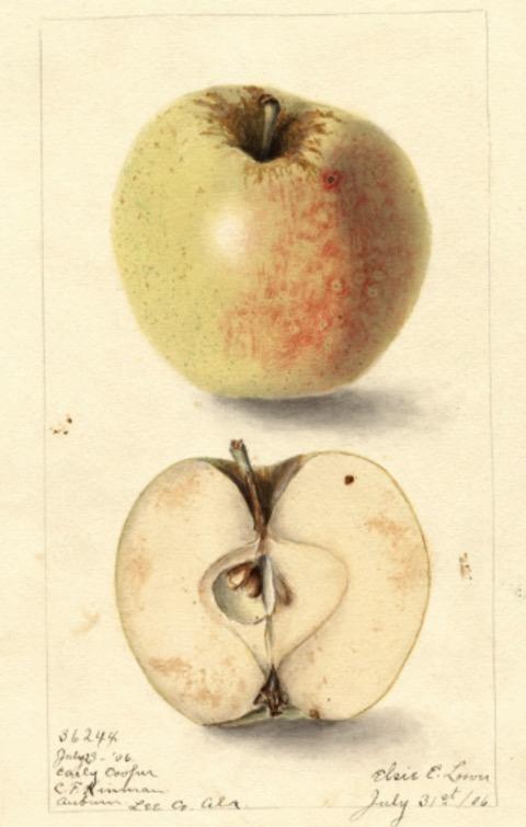 Historische Abbildung eines gelblich-rötlichen und eines aufgeschnittenen Apfels; USDA