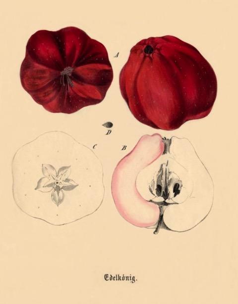 Historische Abbildung zweier roter und eines aufgeschnittenen Apfels; BUND Lemgo Obstsortendatenbank