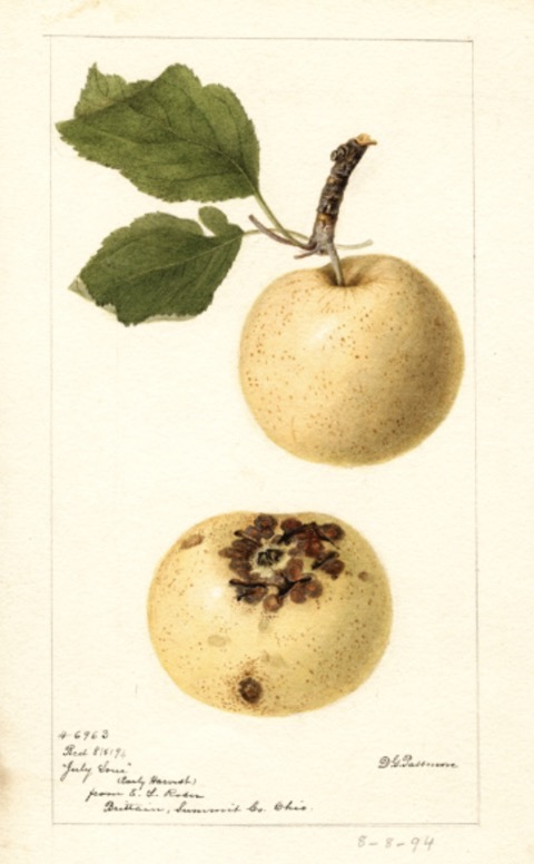 Historische Abbildung zweier gelblicher Äpfel; USDA