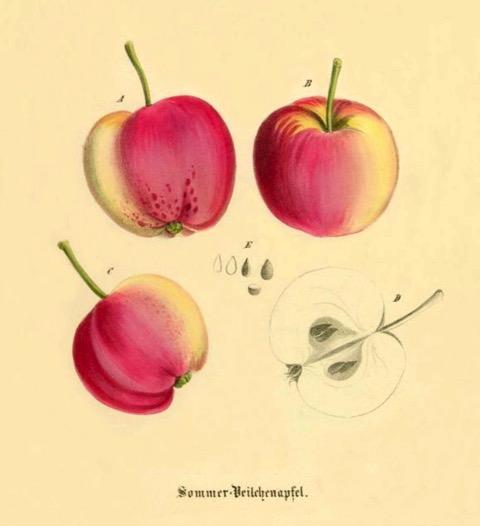 Historische Abbildung von drei gelblich-rötlichen und einem aufgeschnittenen Apfels; BUND Lemgo