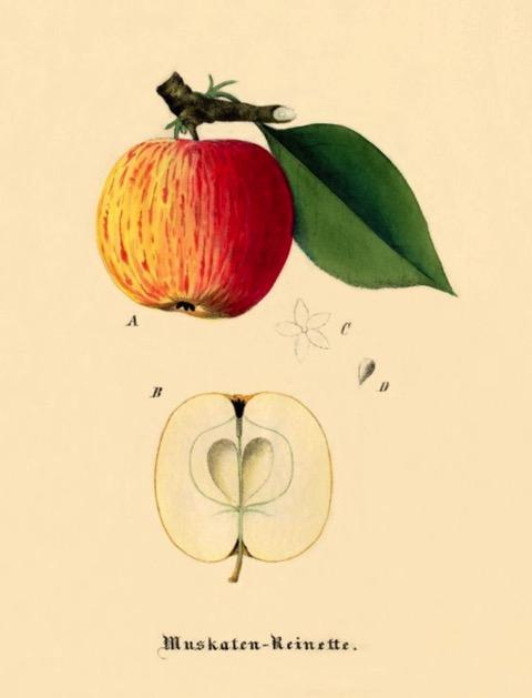 Historische Abbildung eines gelblich-rötlichen und eines aufgeschnittenen Apfels; BUND Lemgo Obstsortendatenbank