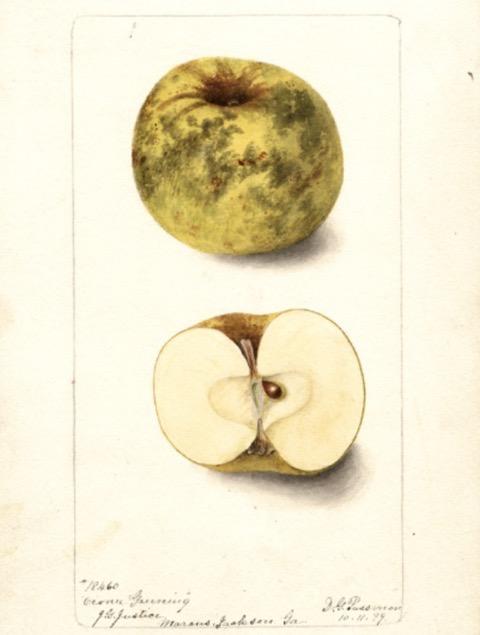 Historische Abbildung eines ggrünlich-schmutzigen und eines aufgeschnittenen Apfels; USDA