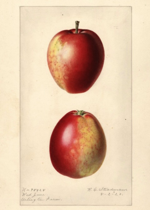 Historische Abbildung von zwei rot-gelblichen Äpfeln ; USDA