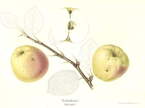 Historische Abbildung zweier gelblich-rötlicher und eines aufgeschnittenen Apfels, datu ein Zweig und Blätter;