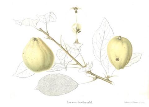 Historische Abbildung zweier hellgelblicher Äpfel, ein Zweig und Blätter; BUND Lemgo Obstsortendatenbank