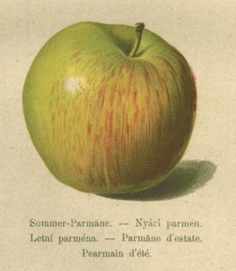 Historische Abbildung eines grünlichen Apfels mit roten Streifen; BUND Lemgo Obstsortendatenbank