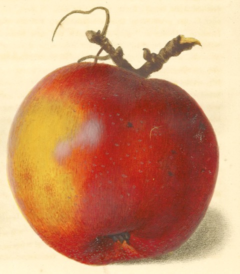 Historische Abbildung eines gelblich-roten Apfels