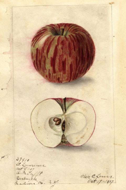 Historische Abbildung eines interessant gemusterten rötlich-gelbenen und eines aufgeschnittenen Apfels; USDA