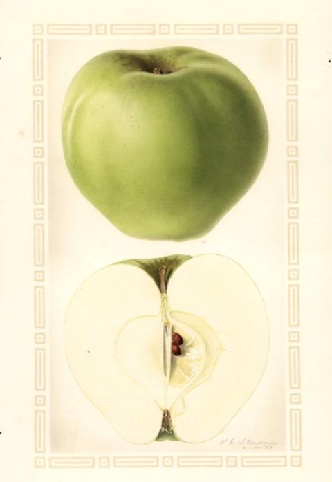 Historische Abbildung eines grünen und eines aufgeschnittenen Apfels; USDA
