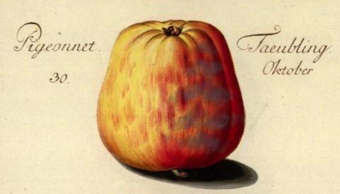 Historische Abbildung eines gelblich-rötlichen Apfels; BUND Lemgo