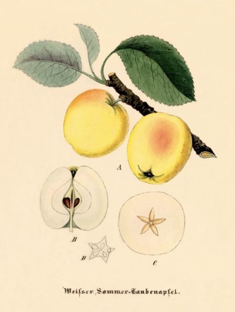 Historische Abbildung zweier gelblich-rötlicher Äpfel am Zweig mit Blättern und zwei aufgeschnittener Äpfel;  BUND Lemgo Obstsortendatenbank