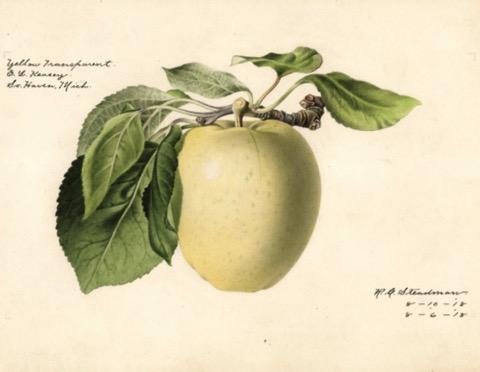 Historische Abbildung eines gelblichen Apfels mit Stiel und Blättern; USDA